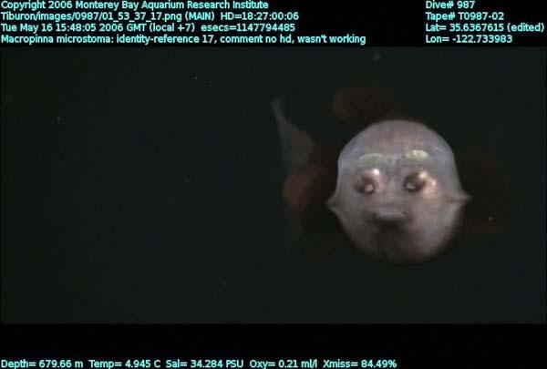 Рыба с прозрачной головой (11 фото)