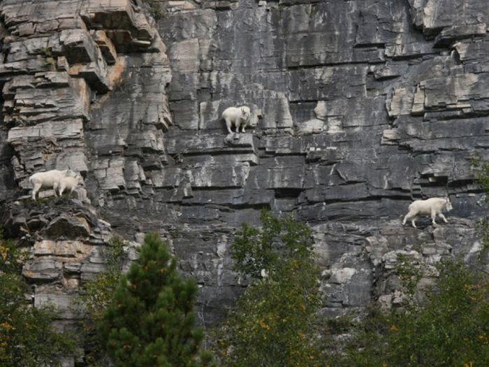 О горных козлах (29 фото)