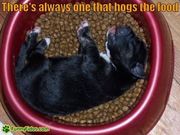 Собаки уснули во время приема пищи (23 фото)