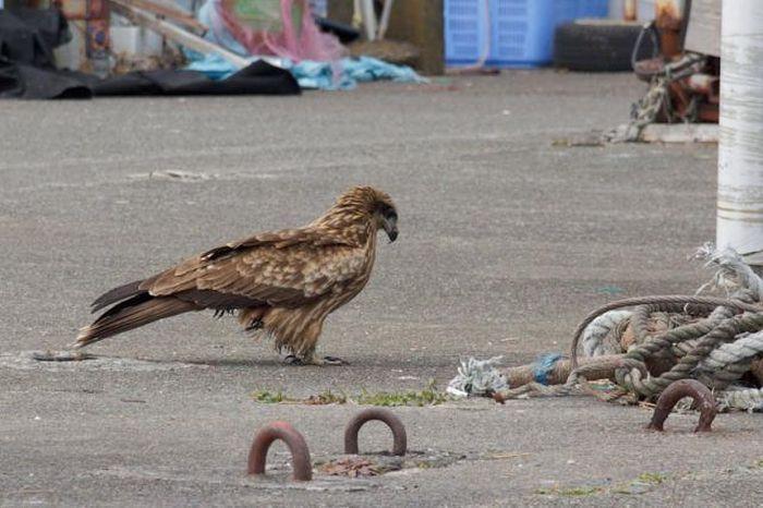 Отважная ворона (4 фото)