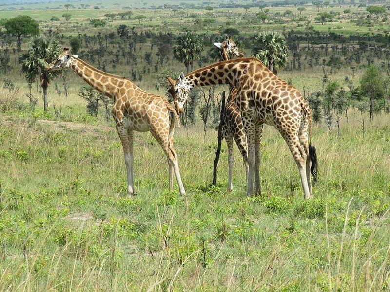 1. Жираф Ротшильда, также известный как Баринго - один из из редчайших подвидов жирафов, названный в честь известного английского зоолога Лайонела Уолтера Ротшильда.
