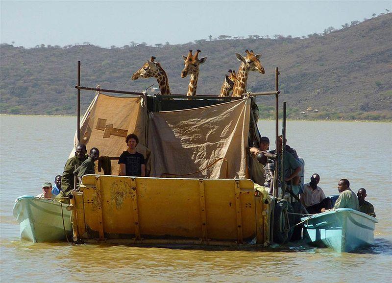 2. 9 февраля, четыре особи жирафа Ротшильда были перевезены по воде на частный остров в водах озера Баринго в Кении.