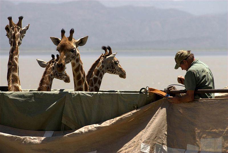 3. Это - один из первых случаев транспортировки жирафов по воде. Он был организован и спонсирован роскошным туристическим лагерем, расположенным на острове, где поселятся животные.