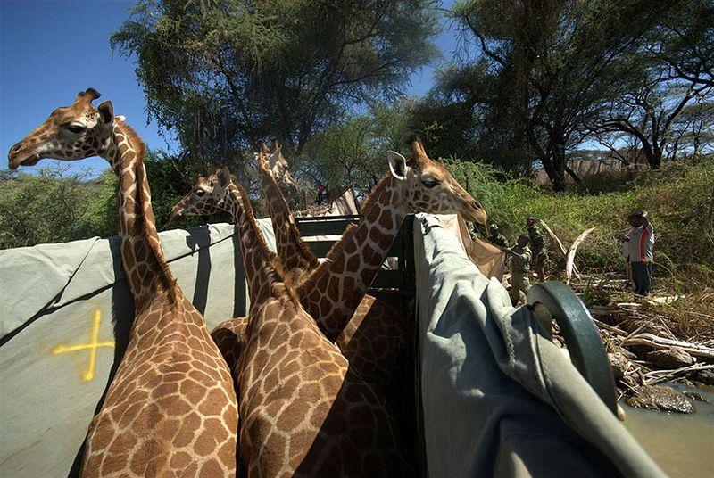 5. Планирование и реализация проекта по перевозке жирафов на остров (а всего их будет перевезено 8 особей - 4 самца и 4 самки), заняли около четырех лет.