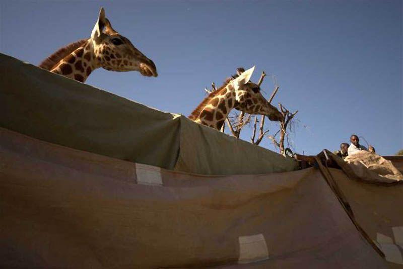 6. Сейчас жирафы Ротшильда оказались на грани исчезновения. В Кении, например, их насчитывается всего около 150.