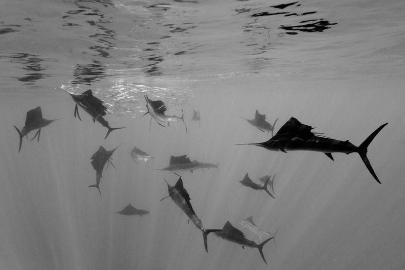 10. Атлантические парусники нападают на испанские сардины в водах у полуострова Юкатан, Мексика. Второе место в категории «Природа». (Reinhard Dirscherl, Germany)
