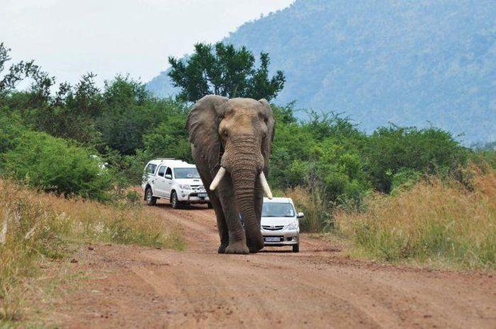 Увидел слона на дороге - не вздумай обгонять! (7 фото)