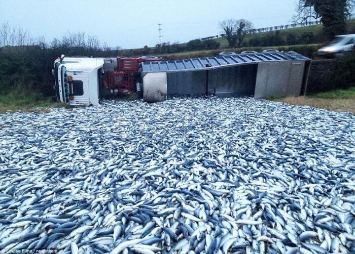 20 тонн скумбрии затопили земли ирландского фермера (3 фото)
