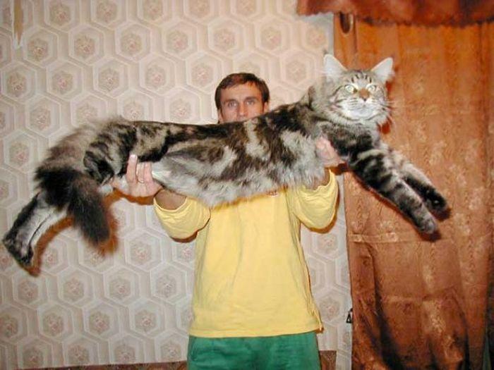 Самые большие домашние кошки в мире (8 фото)