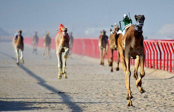 В Кувейте прошли гонки верблюдов с жокеями-роботами (4 фото)