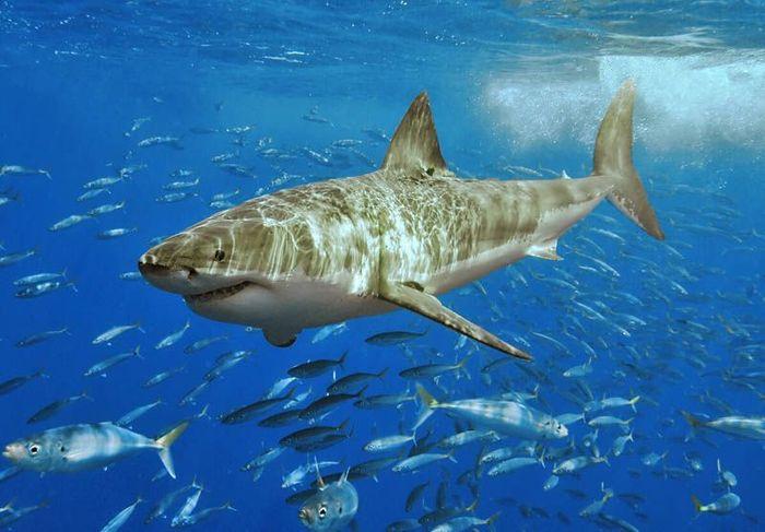 Повелительница морей – большая белая акула (20 фото)