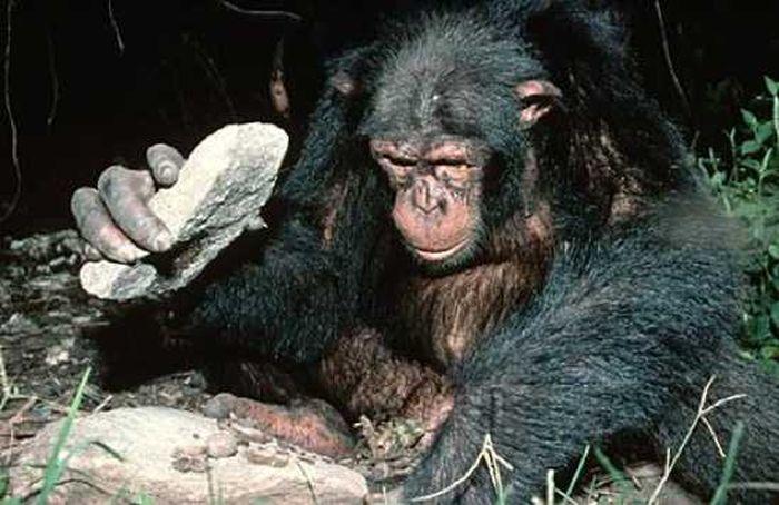 Человек и Шимпанзе (10 фото)