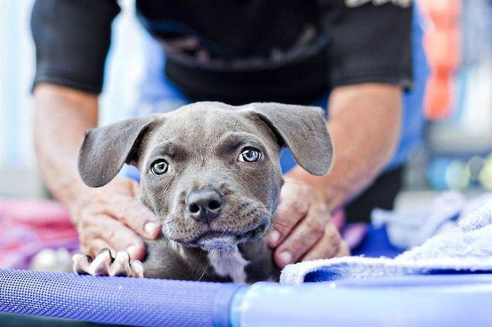 Как любовь и плавание спасли щенка Харпера (13 фото)