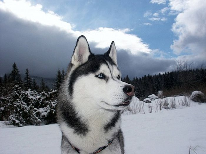 Сибирские Хаски фото (45 фотографий)