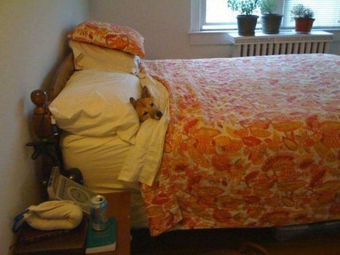 Фото прикол в постели, красивая жизнь, питомец, под одеялом, прикол, собака