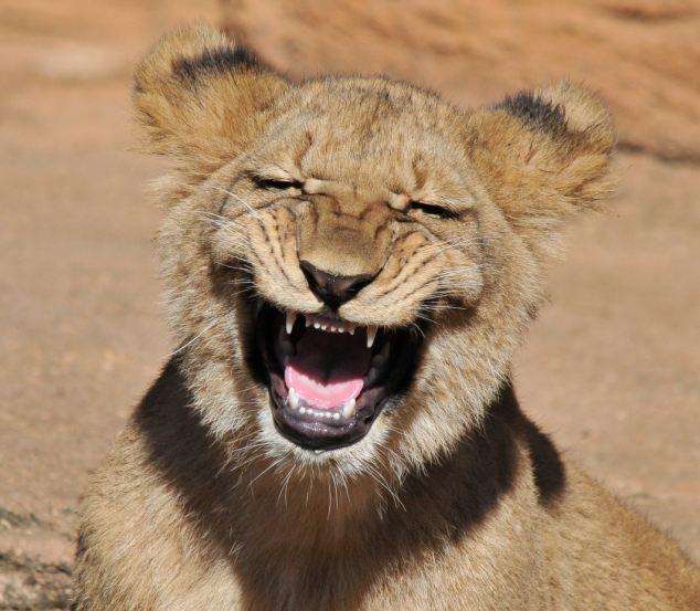 Зачетное фото выражение лица, животное, кошка, красавец, красота природы, львица, тигр
