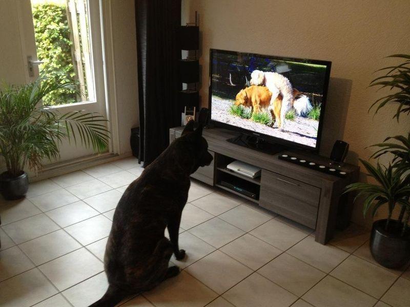 Фанни фото питомец, пялится, смотрит телевизор, собака