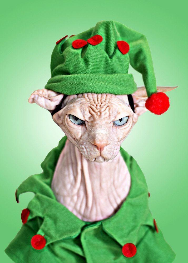 Яркие фото выражение лица, нарядили кота, недовольный кот, рождественский костю
