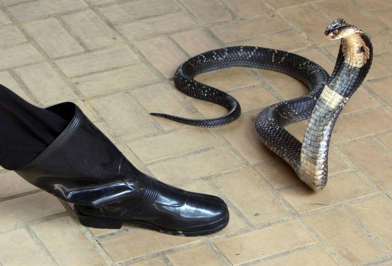 Зачетное фото змея, кобра, сапог, стойка