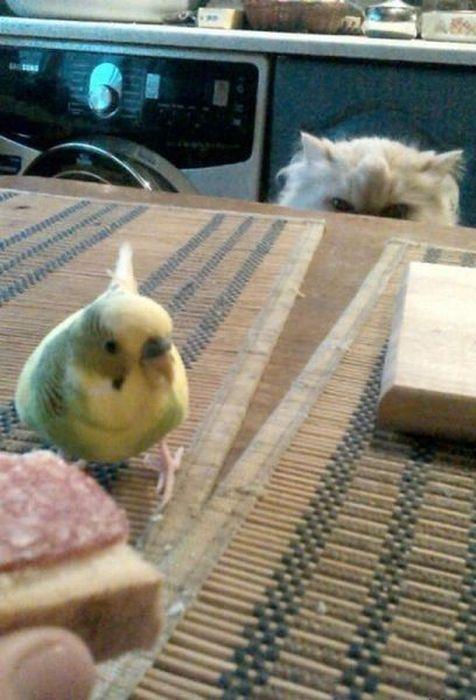 Фотоприкол взгляд, коте, попугай, хищник