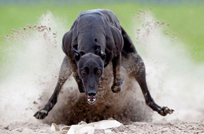 Фотография бежит, движение, мышцы, собака