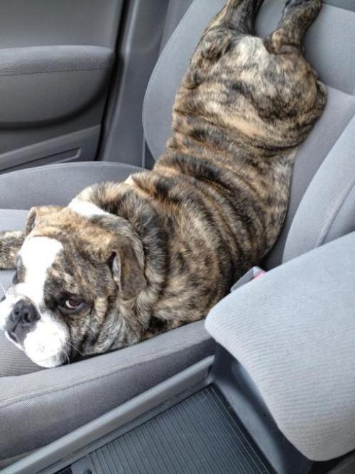 Бугагашеньки прикол, разлегся, сидение, собака в машине