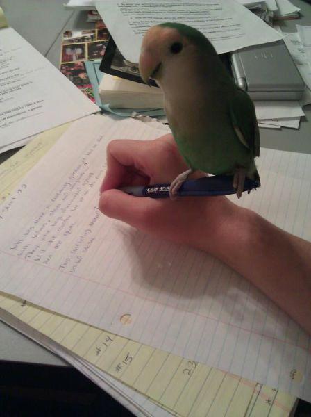 Смешной фотоприкол на руке, пишет, попугай, птичка, ручка