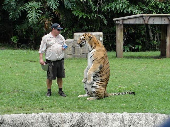 Прикол картинка дикий зверь, дрессировщик, тигр