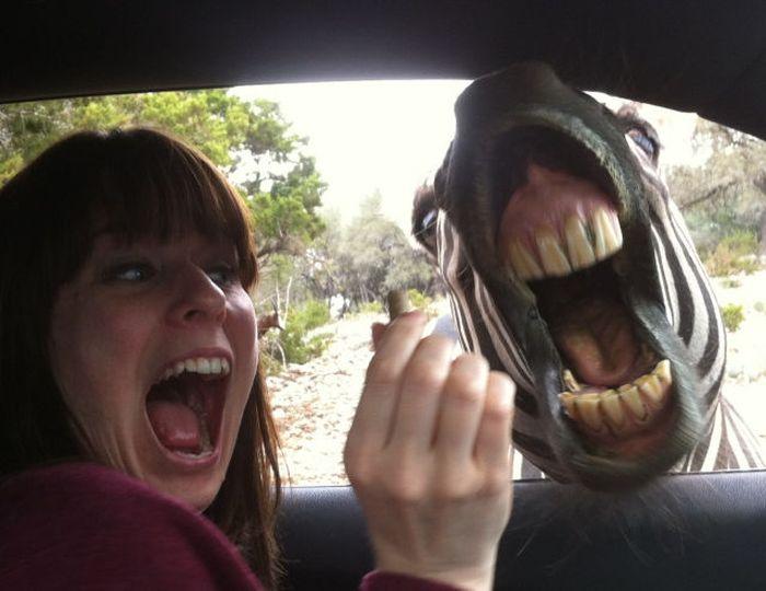 Смешная фотогалерея выражение лица, зебра, лошадь, раскрыл пасть