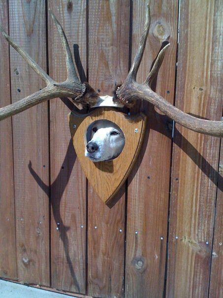 Новый фотоприкол высунулся, голова, рога, собака, чучело