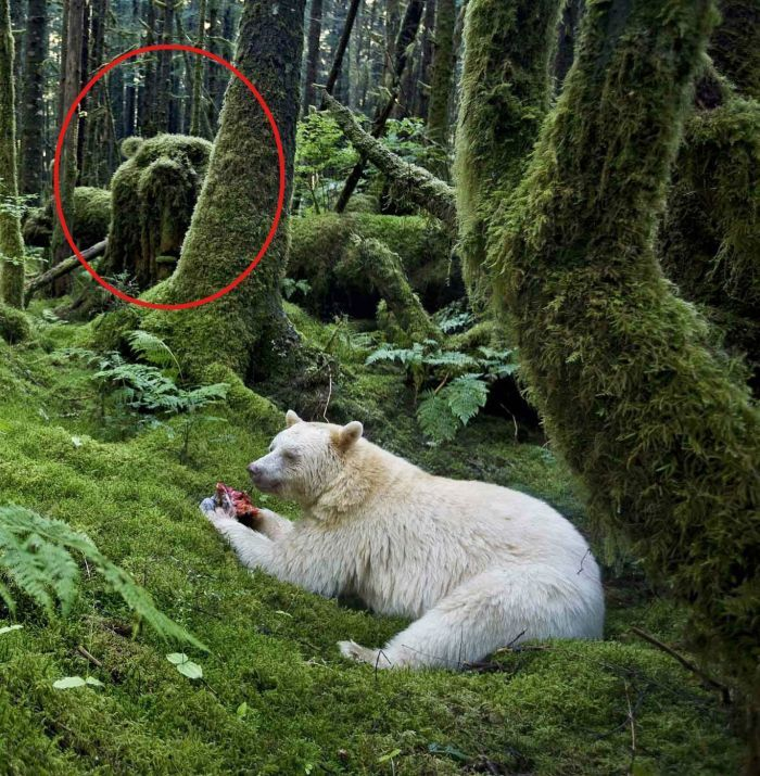 Бесплатно фото белый медведь, джунгли, красавец, мишка