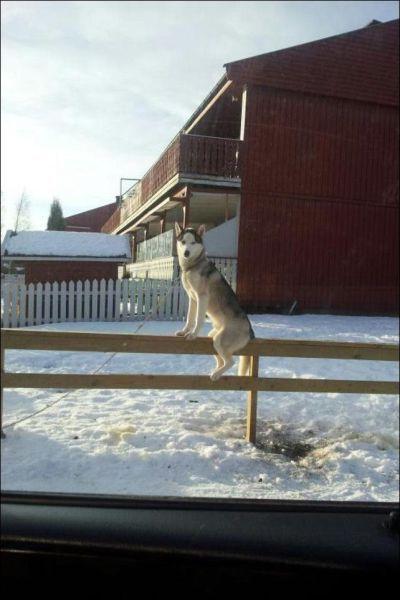 Фотоприкол онлайн бесплатно как человек, лайка, север, собака, хаски