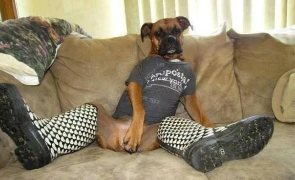 Зачетное фото как человек, нарядил пса, прикол, смешной наряд