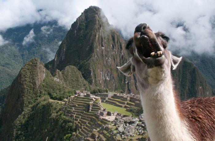 Фото ацтеки, верблюд, выражение лица, мачу пикчу, мексика