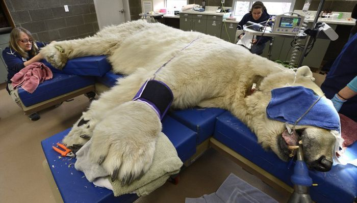 медведь, операция, цирк, зубы
