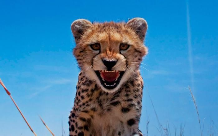 Фото животное, кошка, красавец, тигренок