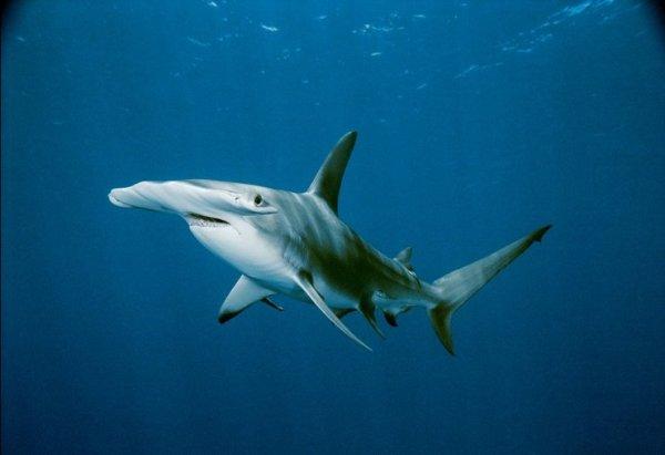 Акула-молот (21 фото + видео)