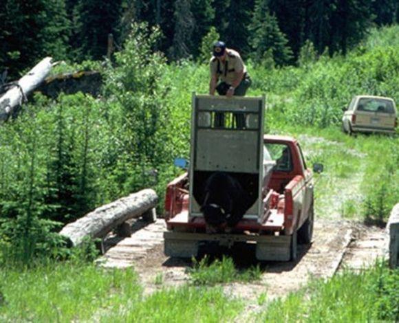 чем закончился выпуск медведя на свободу смотрим в