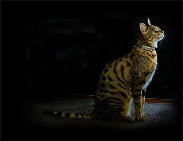 Самая редкая порода домашних кошек - ашера. Её вывели из африканского сервала, азиатской леопардовой кошки и обычной домашней мурки. Вес кошки может достигать 14 кг, а приобрести котенка можно