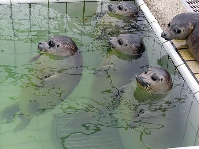 Тюлени в бассейне (5 фото)