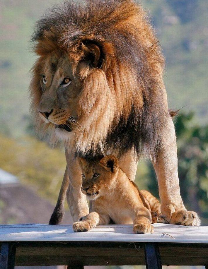 которыми картинка львенок с папой много гораздо более