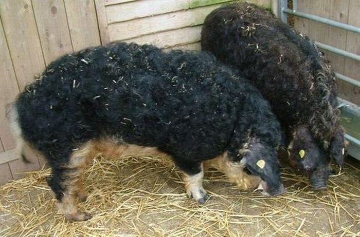 Овечки-свиньи из Аргентины (9 фото)