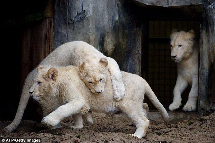 Семья львов - альбиносов (6 фото)