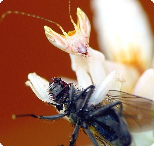 Орхидейный богомол (7 фото)
