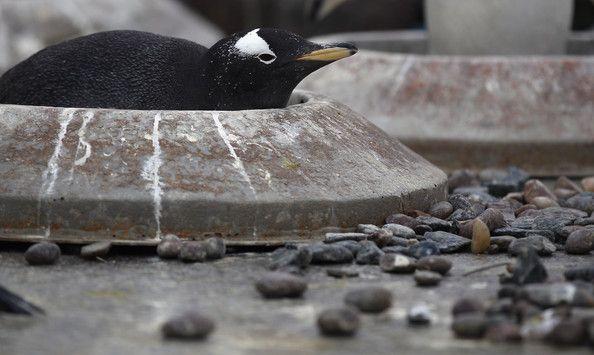 Жилищная программа для пингвинов (13 фото)