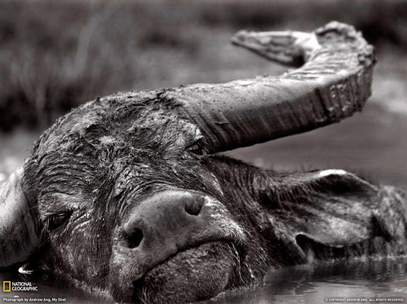 7. Буйвол охлаждается в грязной воде. Это фото было сделано на одном из островом Комодо в Индонезии. Знаменитые вараны обитают всего на трех островах Комодо. Я назвал этот снимок «Последние моменты буйвола», потому что эти животные – одно из главных блюд в меню варанов. (Andrew Ang)
