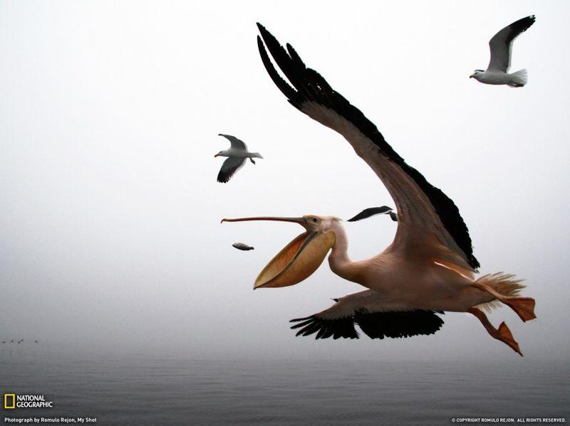 10. Пеликаны всегда четко ловят рыбу, которую бросают с борта лодки, в заливе Валвис, Намбия. (Romulo Rejon)
