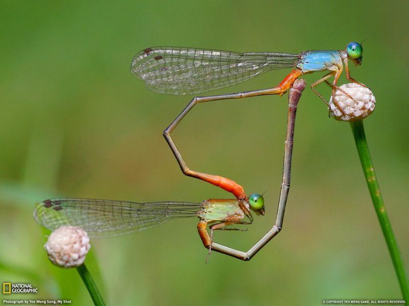 13. Парочка спаривающихся стрекоз образуют форму сердца своими телами. (Yeo Weng Sang)
