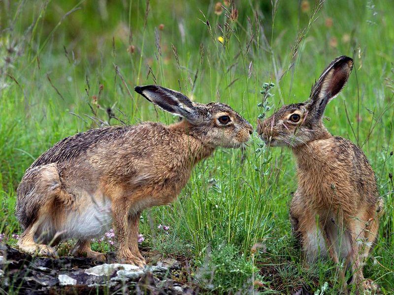 14. Два зайца играют в национальном лесу Касентино в Италии. (Graziano Capaccioli)