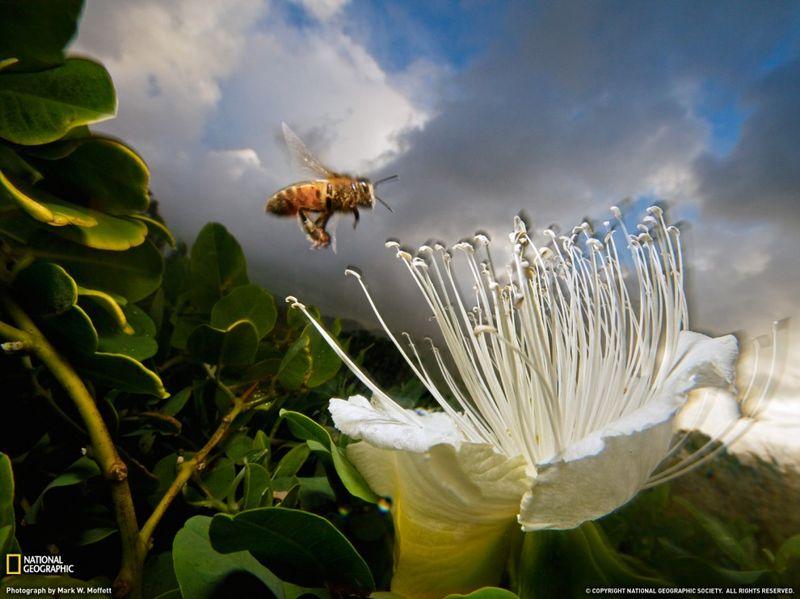 17. Аромат редкого цветка каперса на острове Кауаи привлек голодную пчелу на закате. (Mark W. Moffett)